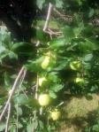 apple-tree-2