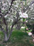 Apple-Tree1