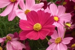 Cosmos_flower_at_lalbagh_7075