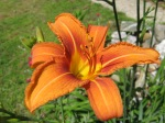 Single_orange_day_lily